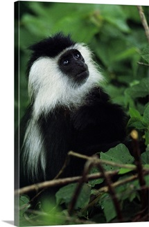 Ruwenzori black and white colobus monkey in a tree, looking up