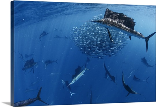 Sailfish drive their prey toward the surface for easier feeding, Isla Mujeres, Mexico