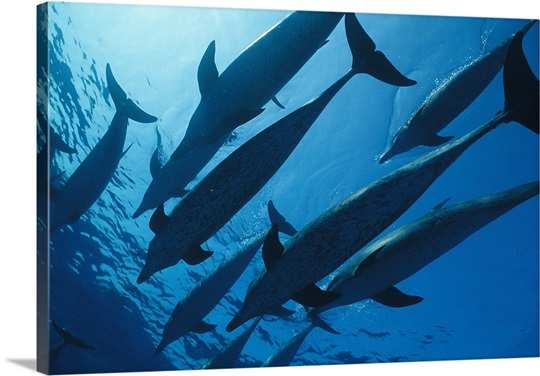 School of spotted dolphins, Bahama Islands