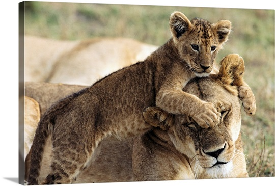 Seven-week-old lion cub with mother, Masai Mara National Reserve, Kenya