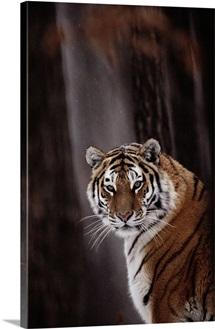 Siberian tiger, Gayvoron, Russia