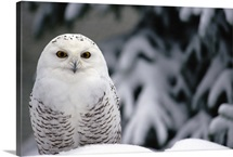 Snowy Owl camouflaged against snow, North America