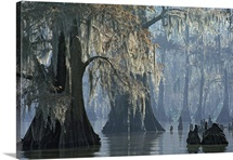 Spanish moss drapes old cypress trees on Lake Verret