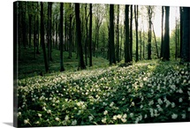 Spring forest view with anemones, Rugen Island in the Baltic Sea, Germany