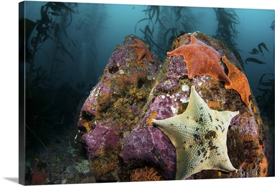 Starfish Cling To A Rock At The Bottom Of A Large Kelp