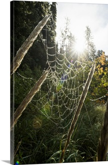 Sunburst behind a dew covered spider web in Alaska