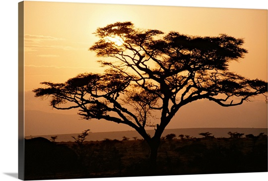 Sunset through a silhouetted acacia tree, Tanzania