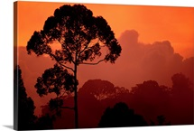 Sunset view of  endangered tree species, Sri Lanka