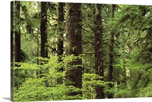 Temperate rainforest, Queets River Valley, Olympic National Park, Washington