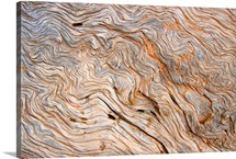 The bark of a pine is sandblasted smooth exposing the wavy woodgrain, Bryce Canyon National Park, Utah