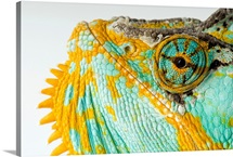 The eye and face of a veiled chameleon, Chamaeleo calyptratus