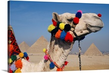 The three Great Pyramids of Giza are framed by the brightly tassled head of a camel