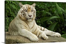 Tiger (Panthera tigris), white morph, captive animal, Singapore