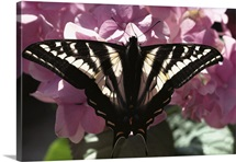 Tiger Swallowtail butterfly perching on pink flowers, North America