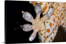 Toe pads of Tokay gecko