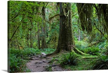 Trail in forest, Hoh Rainforest, Olympic National Park, Washington
