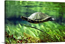Turtle swimming underwater, Florida
