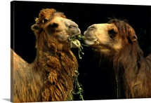 Two Bactrian camels, eating, National Zoological Park, Washington D.C