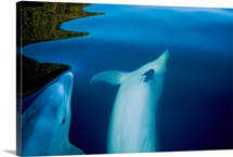 Two bottlenose dolphins, Fiordland National Park, New Zealand