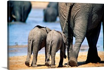 Two elephant calves and their mother, Chobe National Park, Botswana