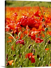 Two flowers stand out in a field of red poppies