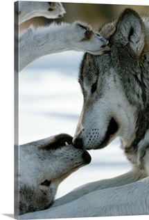 Two gray wolves touch noses, Sawtooth Mountains, Idaho