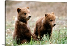 Two grizzly bear cubs hang out together
