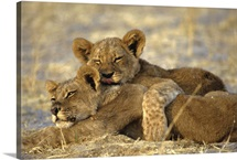 Two lion, panther leo, cubs snuggle together on the savanna ground