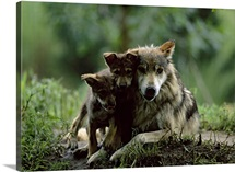 Two of eight pups with parent of captive Mexican gray wolves, Wichita, Kansas