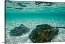 Two southern stingrays swim in pristine waters, Grand Turk Island, Bahamas