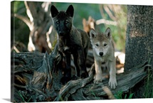 Two watchful and curious female gray wolf pups
