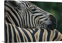 Ultra close view of a plains zebra (Equus burchelli)
