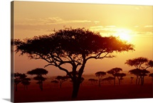 Umbrella Acacia trees at sunrise on savannah, Masai Mara Game Reserve, Kenya