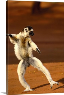 Verreaux's Sifaka hopping across open ground, Berenty Reserve, southern Madagascar