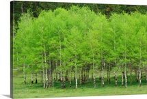 Vivid green Aspen trees near Black Hills National Forest, South Dakota