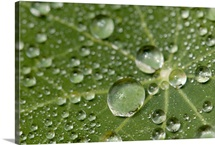 Water drops on a nasturtium leaf