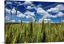 Wheat fields in the Palouses rich agricultural soil