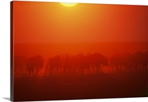 Wildebeests viewed through a dust cloud at twilight
