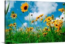 Wildflowers on coastal prairie, Eagle Lake, Texas