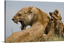 Yawning African lioness with her cubs