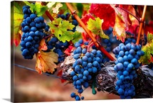 Blue Grapes on the Vine IV