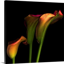Calla flowers