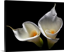 Calla Lily II
