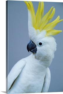 Cocky