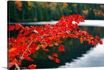 Colorful Red Leaves. Eagle Lake, Acadia National Park, Maine