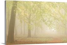 Forest Fog I