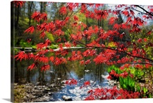 Japanese Maple Blooming at Lakeside, Far Hills, New Jersey
