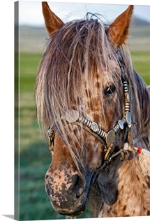 Mongolian Ponies I