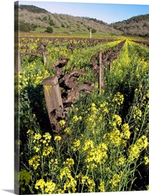 Mustard Vines