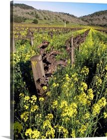 Mustard Vines